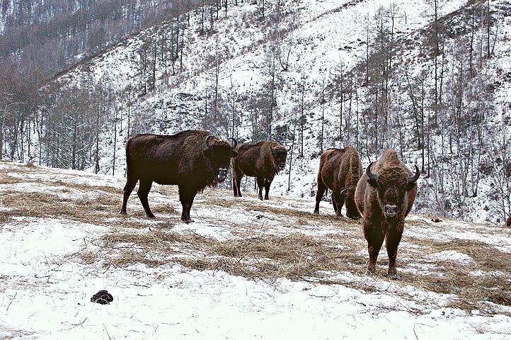 Алтайский зубрятник, зубры на Алтае, Зубры зимой
