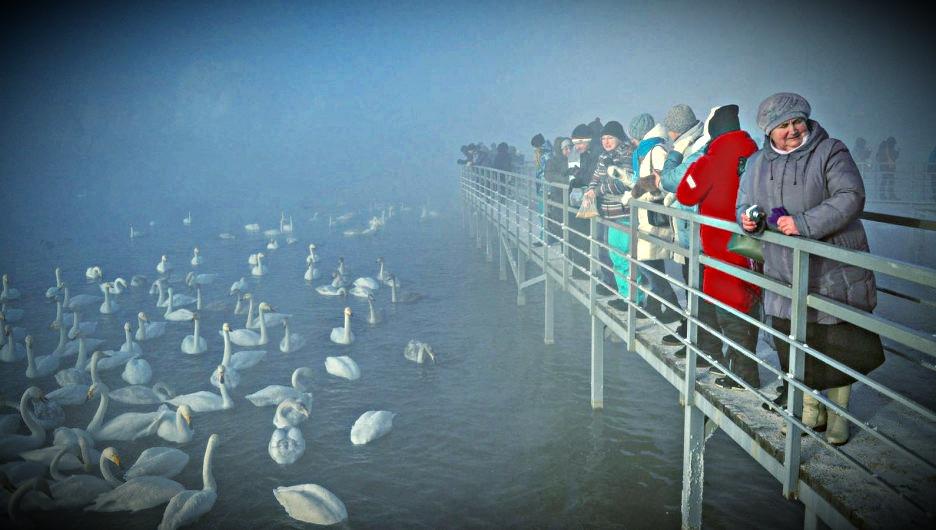 Лебеди на зимовке на Алтае